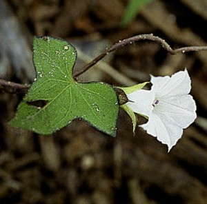 5 Small White Morning Glory (G)