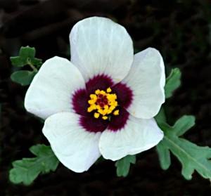 5 Flower-of-an-Hour (G)