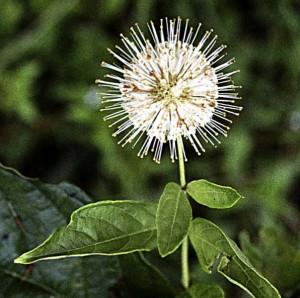 Buttonbush (G)