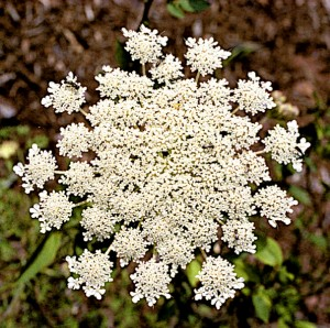 Queen Anne's Lace (G)