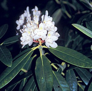 Rhododendron (G)