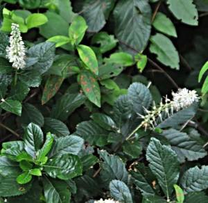 Pepperbush