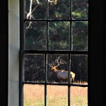 Elk in Palmer House Window