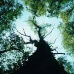 Waslick Poplar