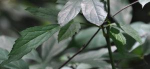 Mountain Bugbane leaves