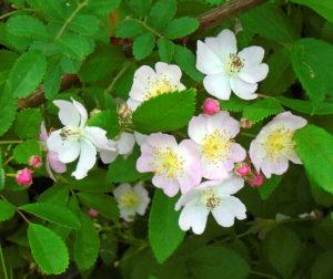 5 Multiflora Rose (G)