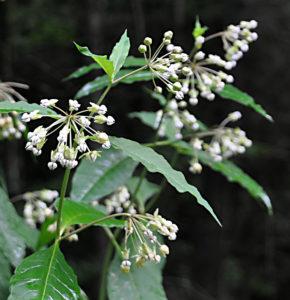 Poke Milkweed (4)