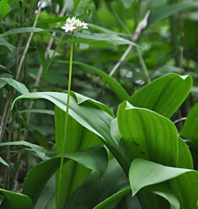 Speckled Wood Lily