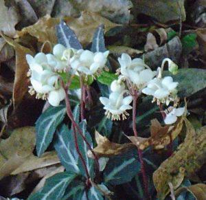 Spotted Wintergreen (Pipsissewa)