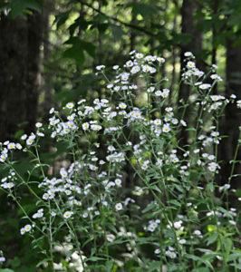 White Heath Aster (2)