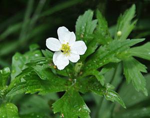 5-7 Wood Anemone (G)