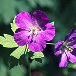 5 Wild Geranium (G)
