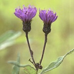 Spotted Knapweed (G)