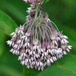 Common Milkweed (2)