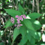 (Milkweed)2