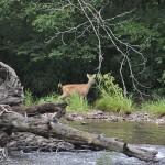 Deer on Needmore Road