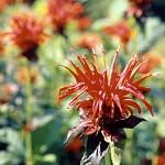Crimson Bee Balm