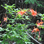 Flame Azalea (5)