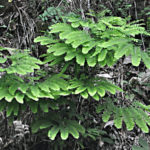 Maidenhair Fern (3)