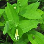 Perfoliate Bellwort (3)