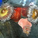Anemonies