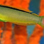 Green Canary Blenny
