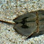 Horseshoe Crab 3