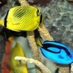 Latticed Butterflyfish