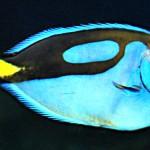 Regal Blue Tang