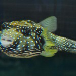 Stars and Stripes Puffer