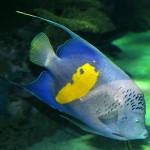 Yellow-bar Angelfish