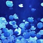 Blubber Jelly