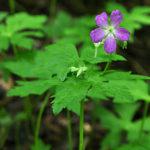 5 Wild Geranium