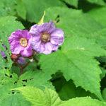 5 Purple-flowering Raspberry