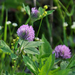 Red Clover (G)