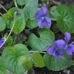 5 Violet (G)